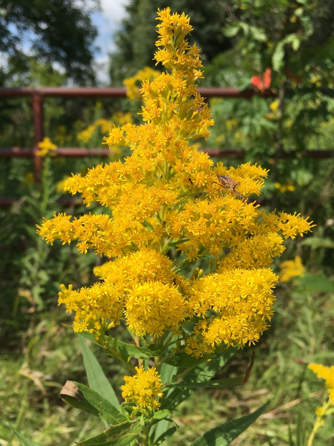 goldenrod with gate